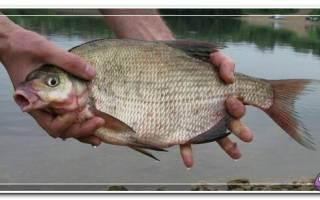 Приемы ловли леща в августе, в стоячей воде и на течении