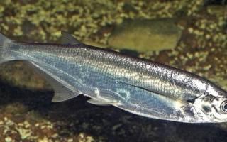 Запечённая чехонь — рыбные рецепты