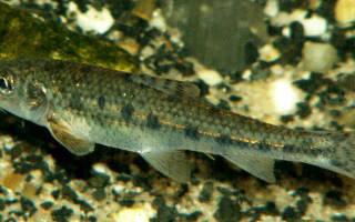Пескари, фаршированные клюквой — рыбные рецепты