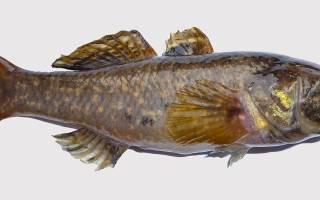Вяленый ротан — рыбные рецепты