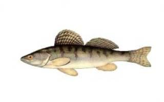 Бёрш с зеленой начинкой — рыбные рецепты