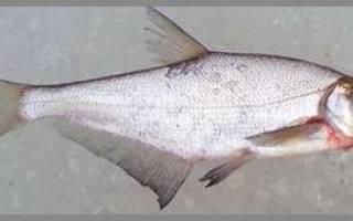 Вяленый синец — рыбные рецепты