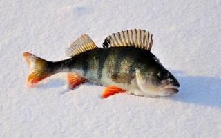 Зимняя ловля окуня на балду