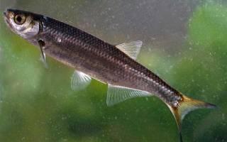 Уха из уклейки — рыбные рецепты