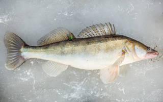 Копчение судака в коптильне — рыбные рецепты