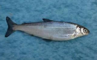 Ряпушка, запечённая по-сибирски — рыбные рецепты