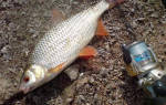Речная плотва: выбор места ловли и оснастки