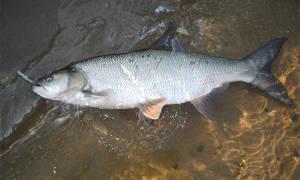 Вяленый жерех — рыбные рецепты
