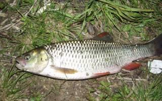 Как ловить голавля на поплавочную снасть (часть вторая)