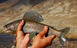 Хариус горячего копчения — рыбные рецепты