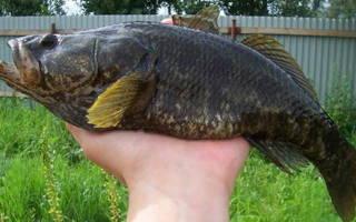 Консерва из ротана — рыбные рецепты