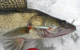 Весенняя ловля судака: по последнему льду и открытой воде