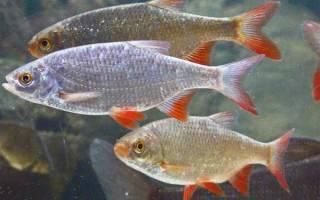 Запечённая краснопёрка — рыбные рецепты