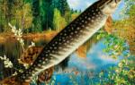 Ловля щуки в мае: Когда, где и как ловить щуку в мае