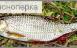 Краснопёрка в желтках — рыбные рецепты