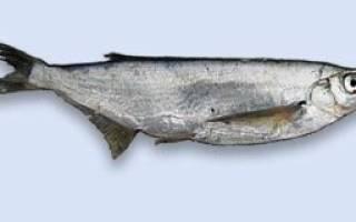 Чехонь, жареная с картошкой — рыбные рецепты