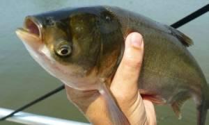 Консервы из толстолобика — рыбные рецепты
